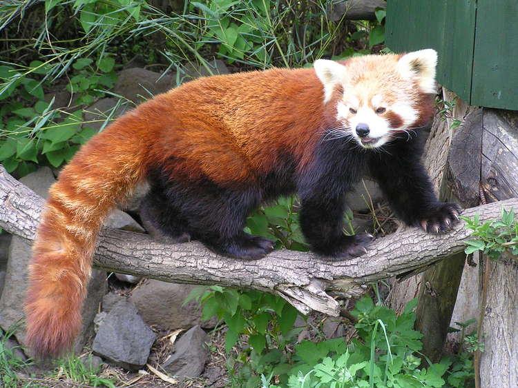 Na obrázku je panda.